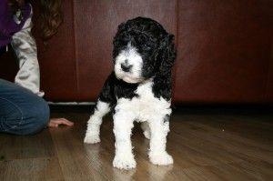 puppy koningspoedel