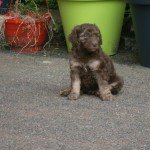 Silversand Poodle