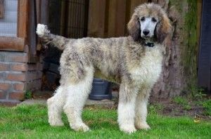 Brindle and white standard poodle
