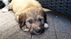 poedel puppy